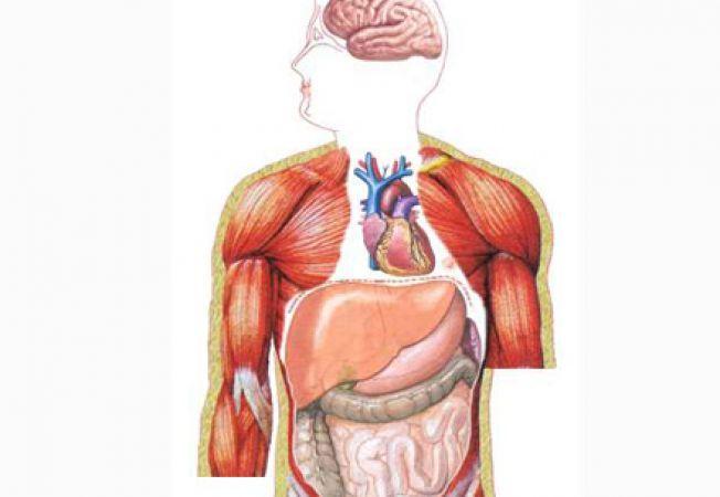 Sistemul genital masculin | Anatomie si fiziologie